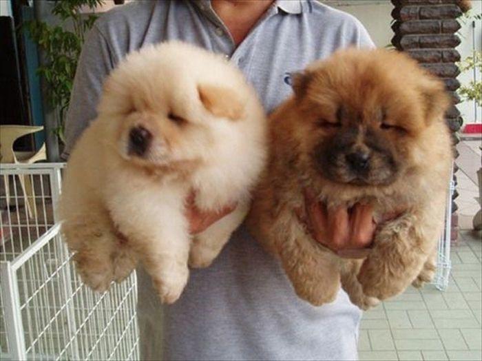 Собаки, которые больше похожи на медвежат (20 фото)