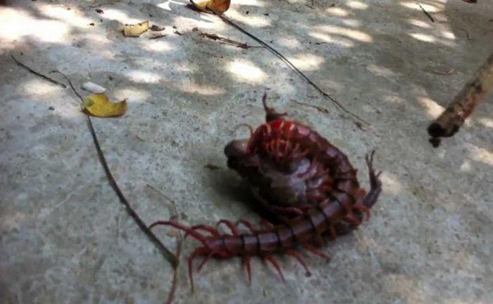 Сколопендры - удивительные существа, живущие у нас под боком (9 фото)
