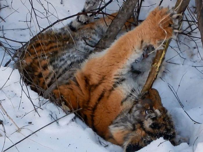 В Приморье обнаружили еще одного истощенного тигренка (2 фото)