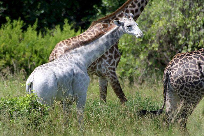 Омо - необычный жираф с редкой мутацией (4 фото)