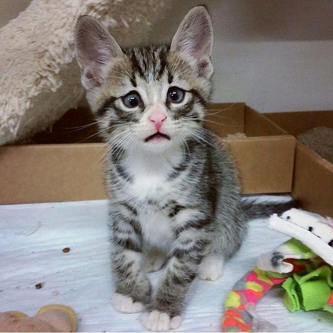 Очаровательный котенок с «взволнованным взглядом» (6 фото)