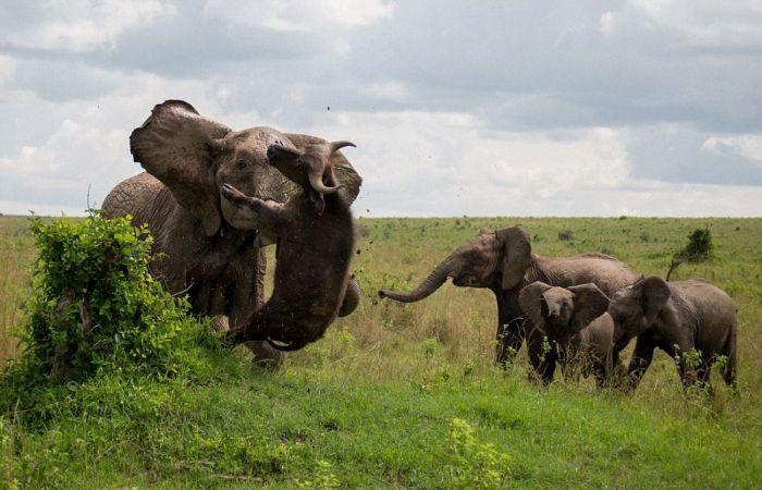 Трагическая встреча буйвола со слоном (5 фото)