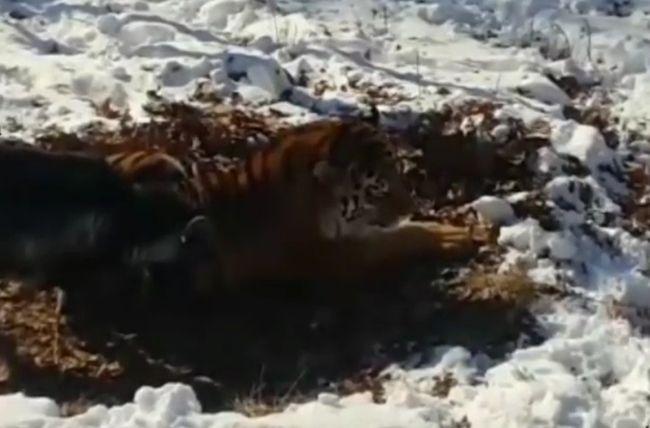 Бесстрашный козел Тимур и терпеливый тигр Амур