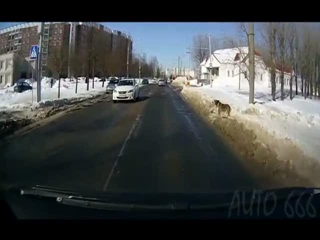 Собаки, пользующиеся пешеходным переходом