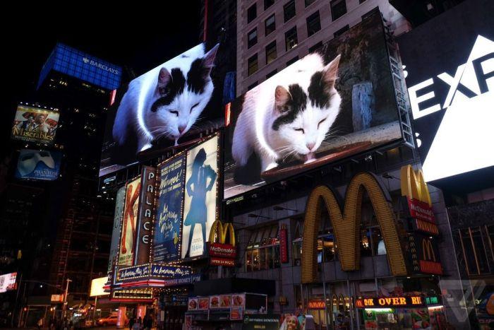 В Нью-Йорке на площади Таймс-сквер каждую февральскую ночь будут показывать видео с котом, лакающим молоко (4 фото + видео)