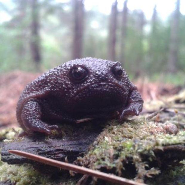 Черная дождевая лягушка - самое недовольное земноводное в мире (4 фото)