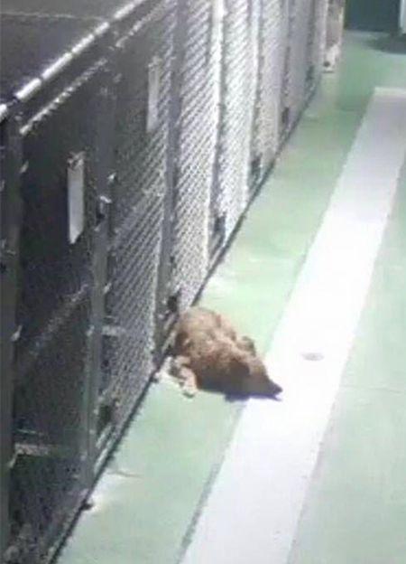 В приюте для животных собака сбежала из клетки, чтобы успокоить плачущих щенков (5 фото)