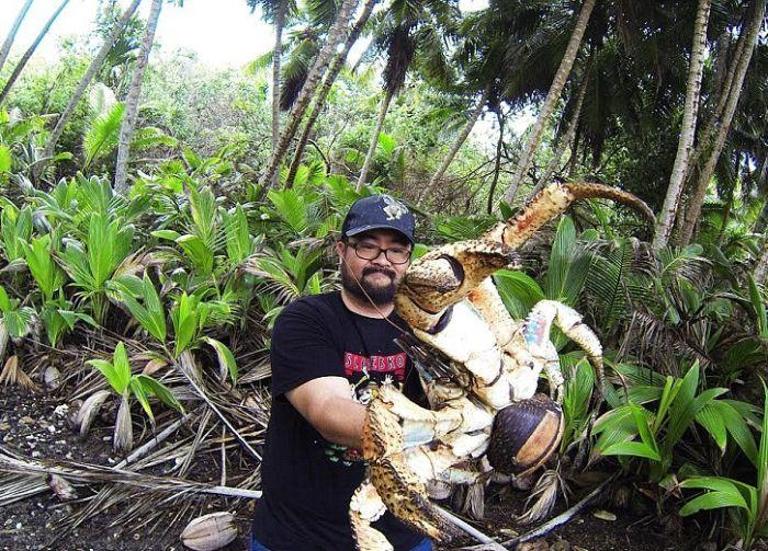 Отважный турист и кокосовый рак (2 фото)