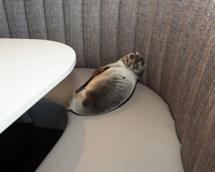 Голодный детеныш морского льва забрался в ресторан в Сан-Диего (4 фото)