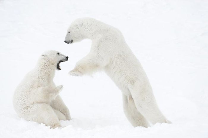 13 дней ожидания на 50-градусном морозе ради фото белых медведей (15 фото)