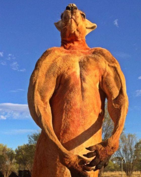 Кенгуру-качок покорил пользователей сети развитой мускулатурой (9 фото)