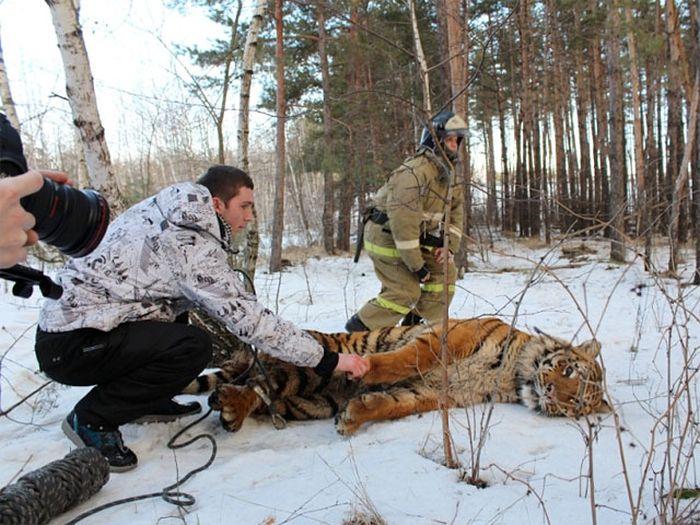 В Воронеже поймали сбежавшего тигра (3 фото + видео)