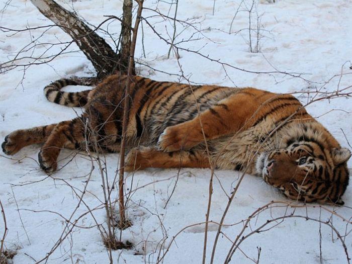 Жопа тигра видео