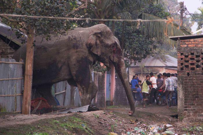 Дикий слон устроил погром в индийском городе Силигури (6 фото)