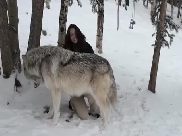 Бесстрашная девушка ласкает волка