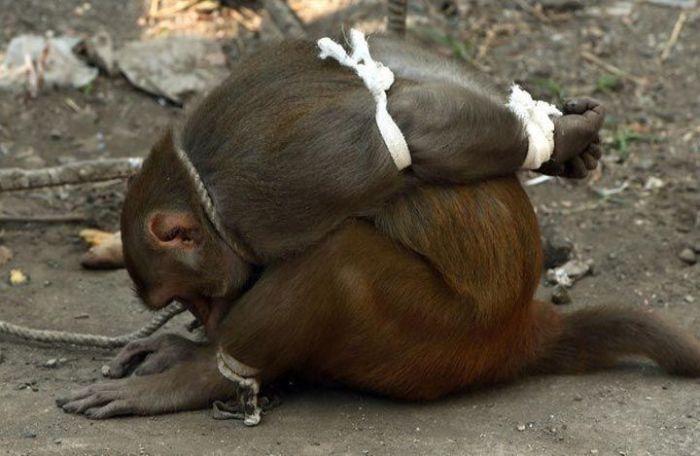 Наказание обезьяны в Индии (7 фото)