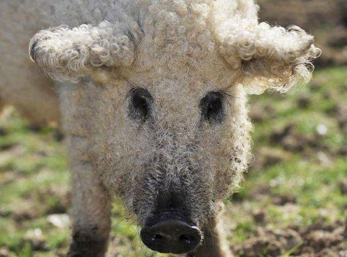 Необычные свиньи породы мангалица (7 фото)