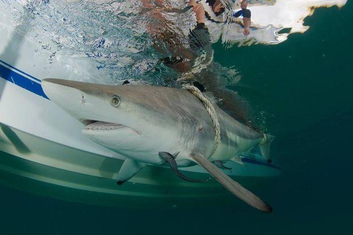 Тысячи акул у побережья Флориды (2 фото + видео)
