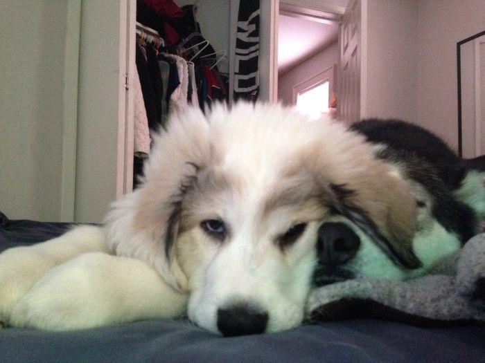 Реакция пса на появление в доме второй собаки (4 фото)