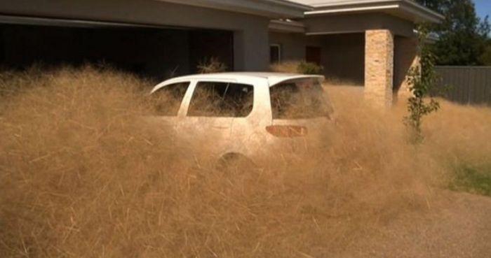 Австралийский город Вангаратта засыпан толстый слой сухой травы (7 фото + видео)