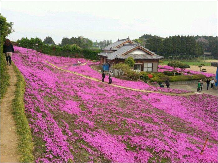 Японский фермер разбил гигантский цветник ради слепой жены (9 фото)