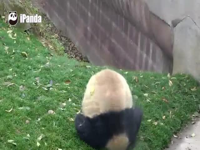 Панда кувыркается