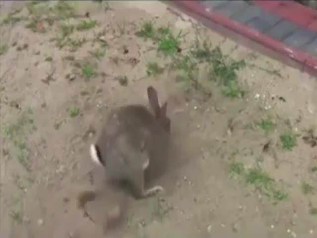 Зайчиха откапывает свой тайник