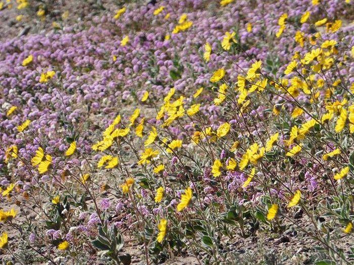 Впервые за 10 лет зацвела Долина Смерти в США (17 фото)