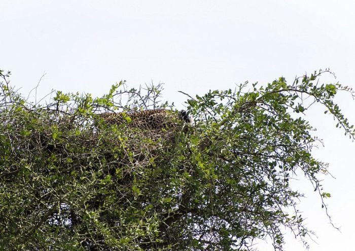Попробуйте разглядеть спрятавшегося леопарда на этом фото (4 фото)