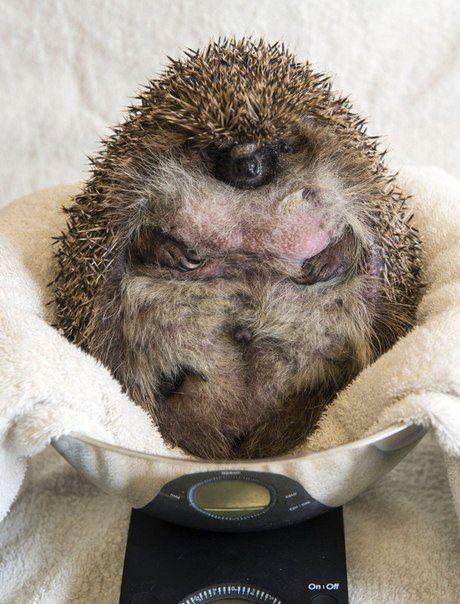 В Великобритании толстую ежиху, не способную свернуться в клубок, посадили на диету (3 фото)