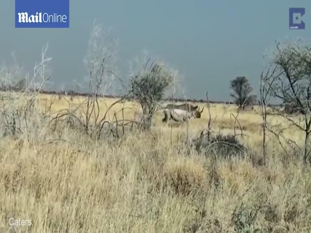 Агрессивный носорог атаковал автомобиль