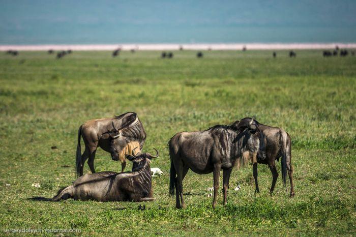 Появление на свет детеныша антилопы Гну и его первые шаги (10 фото + видео)