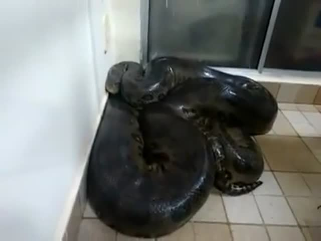 Парень пытается погладить огромную анаконду