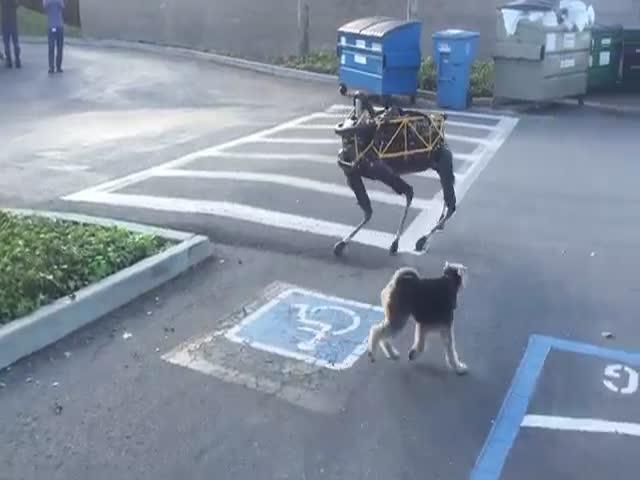 Знакомство собаки с четвероногим роботом