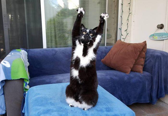 Кот поднимает вверх лапы каждый раз, когда его фотографируют (5 фото + видео)
