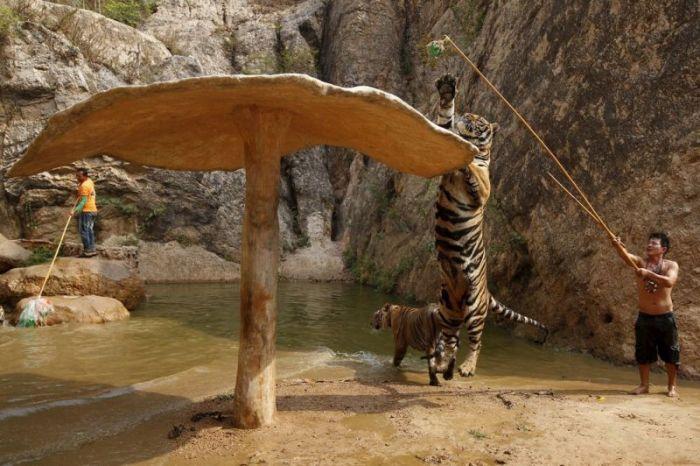 Тигриный храм в Таиланде (8 фото)