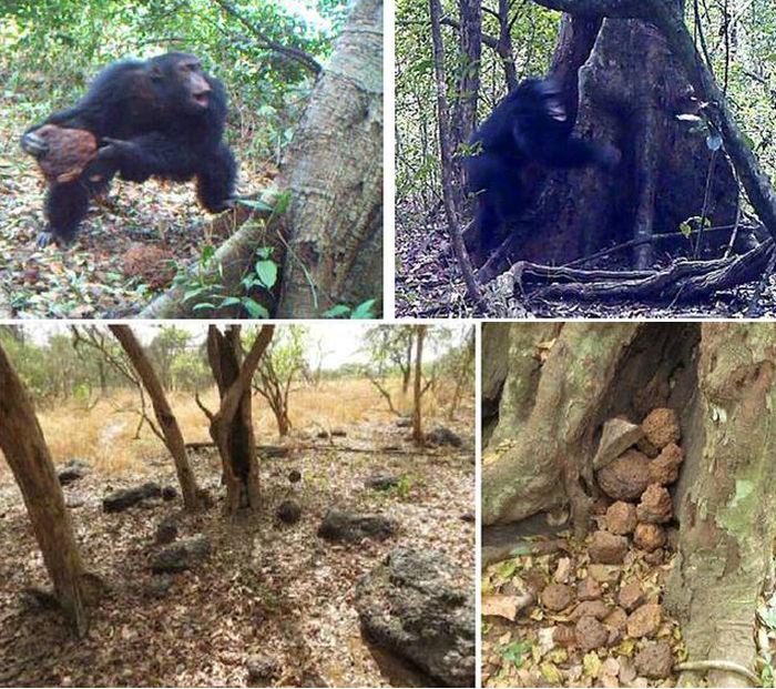 У африканских шимпанзе зарождается религия (3 фото + видео)