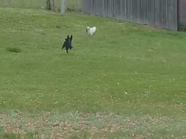 Кот ловко перепрыгнул забор, убегая от собаки