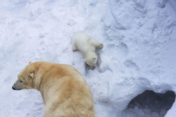 В Новосибирском зоопарке медведица Герда впервые вывела из берлоги своего детеныша (4 фото + видео)