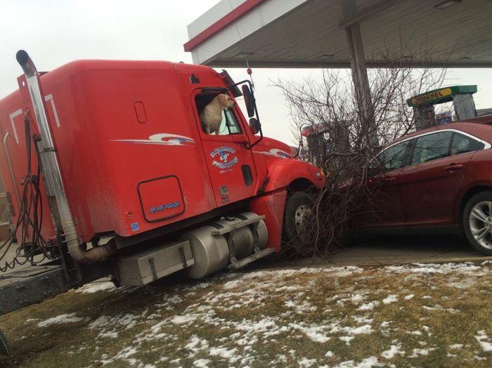 В США пес за рулем грузовика  устроила ДТП (3 фото)