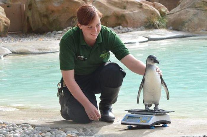 Пингвины, которые очень любят взвешиваться (5 фото)