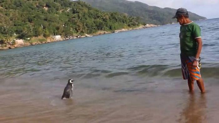 Пингвин ежегодно проплывает более 8000 км, чтобы встретиться со своим спасителем (5 фото)