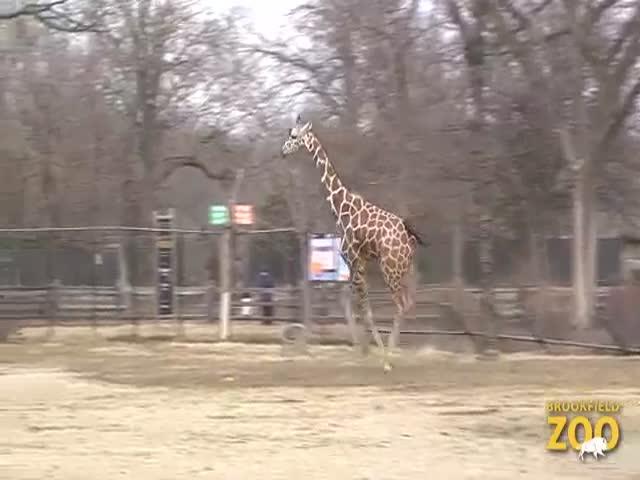 Жираф радуется приходу весны
