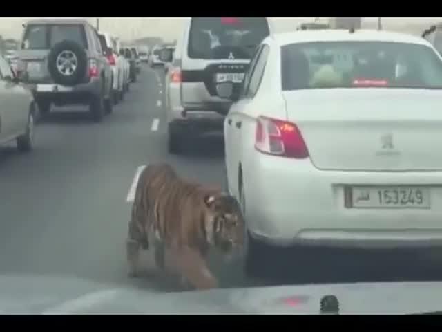 Сбежавший тигр на шоссе