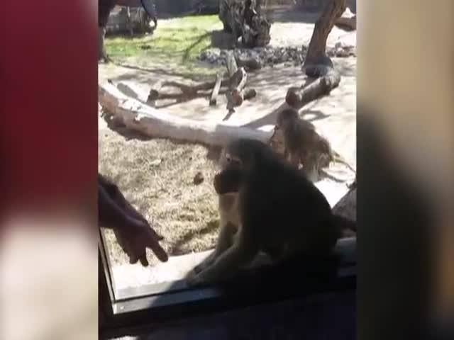 Реакция бабуина на фокус