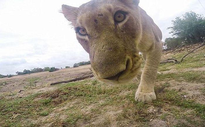 Львица приняла экшн-камеру за свой обед (5 фото)