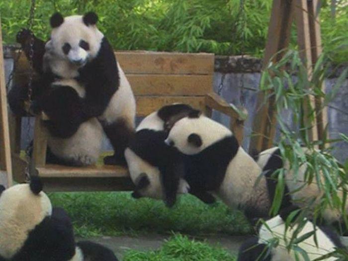 Забавные и неуклюжие панды (15 гифок)