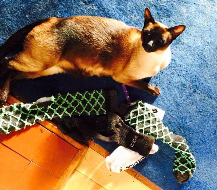 Кот-воришка крал соседские носки и нижнее белье (3 фото)