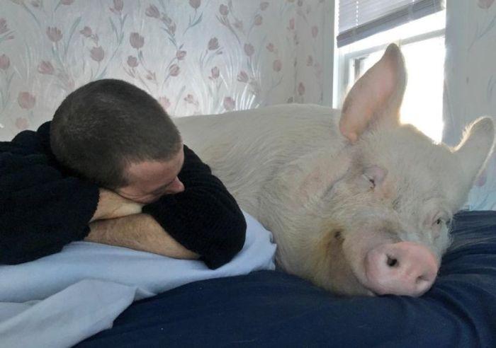 Мини-поросенок вырос в огромную свинью (20 фото)