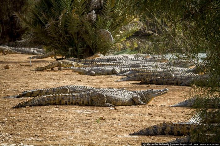 Заброшенный крокодилий питомник в Израиле (20 фото)